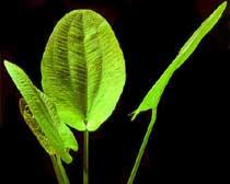 Echinodorus macrophyllum