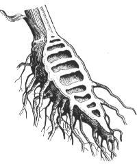 Cicuta virosa - root