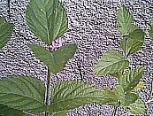 Científico Lippia citriodora Kunth