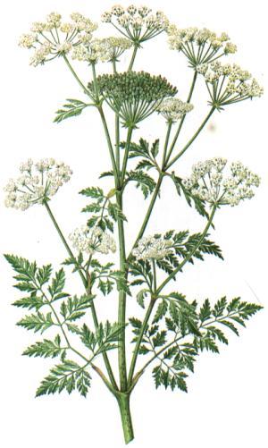 Conium Maculatum