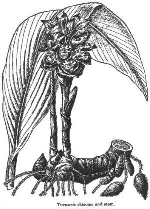 Curcuma sp.