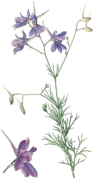 Delphinium consolida