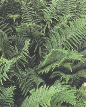 Dryopteris filix-mas