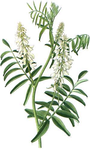 Galega officinalis