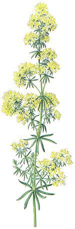 Galium verum