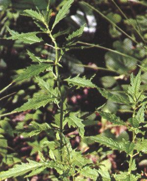 Lycopus virginucus