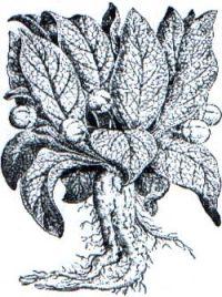 Mandragora officinarum