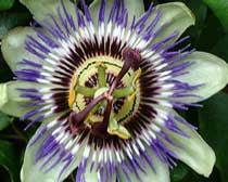 Passiflora spp