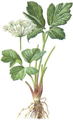 Peucedanum ostruthium