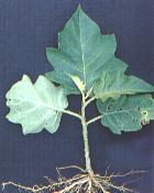 Solanum asperolanatum