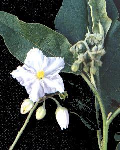 Solanum variabile