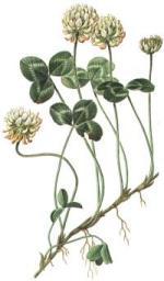 Trifollium repens